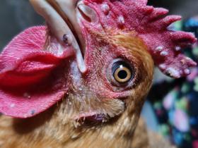 刘连康:未下过蛋的小母鸡长鸡痘了怎么办